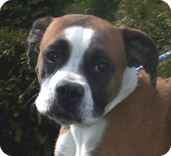 Germantown, MD Boxer. Meet Blossom a Dog for Adoption