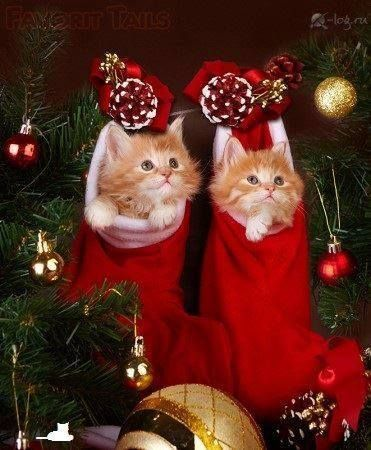 Adorable Little pair of Fluffy Kittens in Christmas Stockings