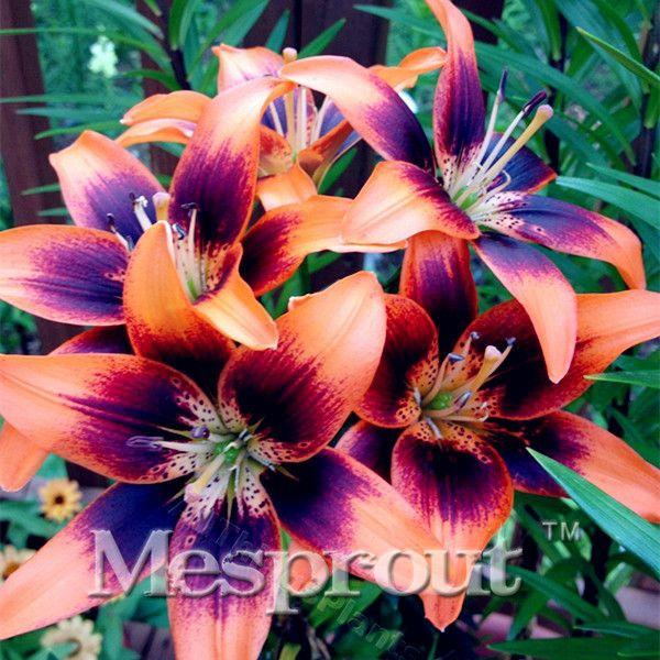 Hei er verkauf 100 st cke 24 farben liliensamen billigem parf m lilien samen rare farbe blume - Asiatische zimmerpflanzen ...