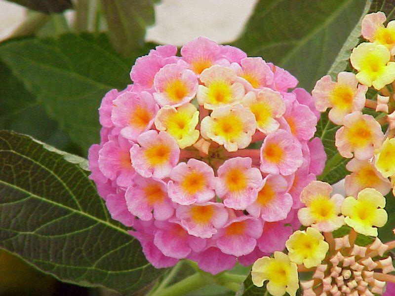 Lantana Sunshine Rose Tanaman Bunga Tembelekan