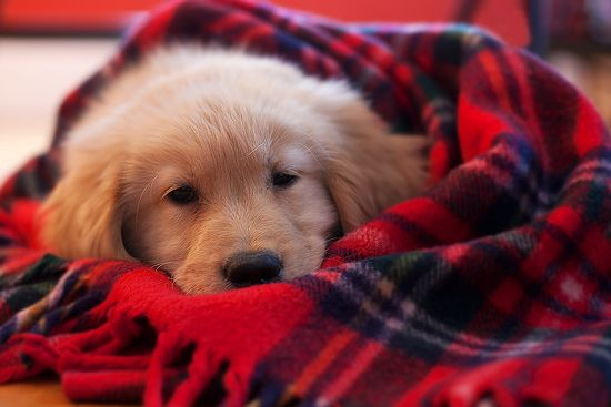Baby It S Cold Outside Retriever Puppy Golden Puppy Dogs