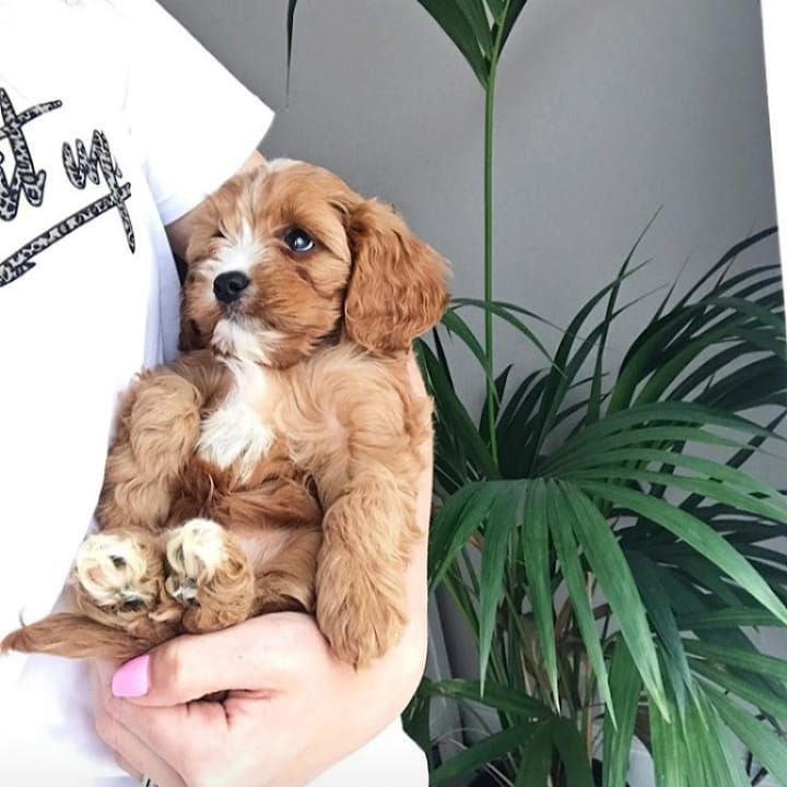 Dog Dogs Dogsof Puppies Cutedogs Dogsofinsta Hati Is A 13weeks Old Girl Cavapoo Puppy She Is Will And Cavapoo Puppies Cute Puppies Images Cavoodle Dog