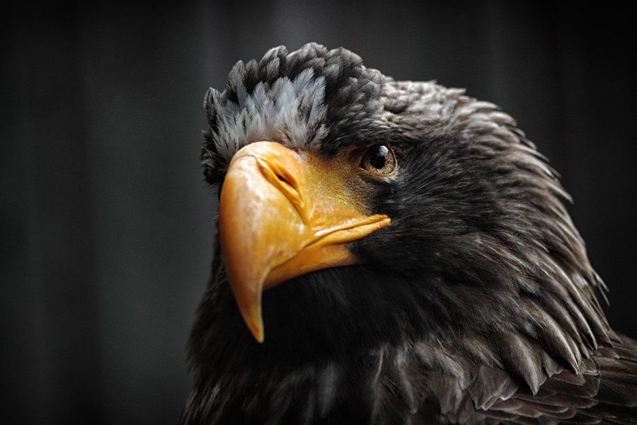 Steller's Sea Eagle  by Jayaruwan Gunathilake