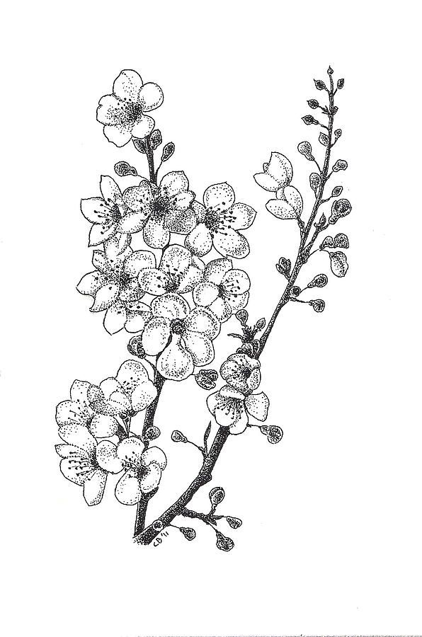 Blossom Flower Line Drawing : Cherry blossems drawing fine art print