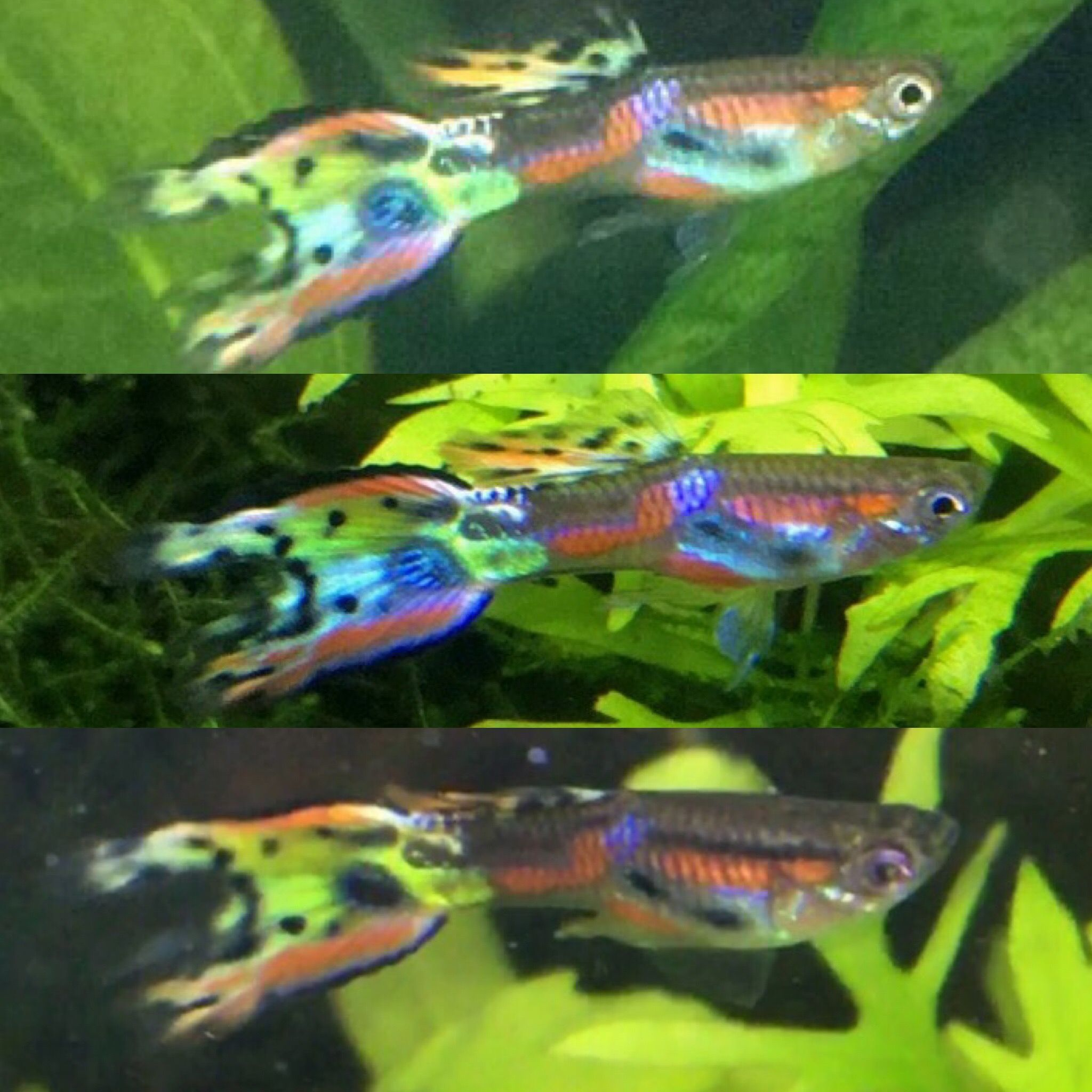 Three Photos Of My Endler Guppy Cross His Mother Was A Yellow Laser