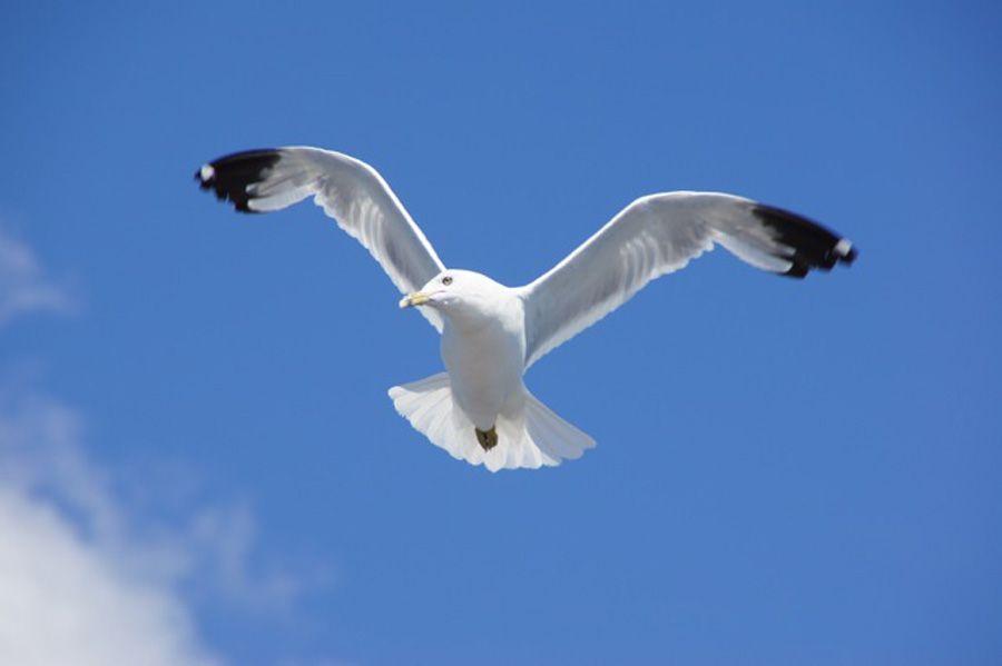 Thousand Island gull Canada