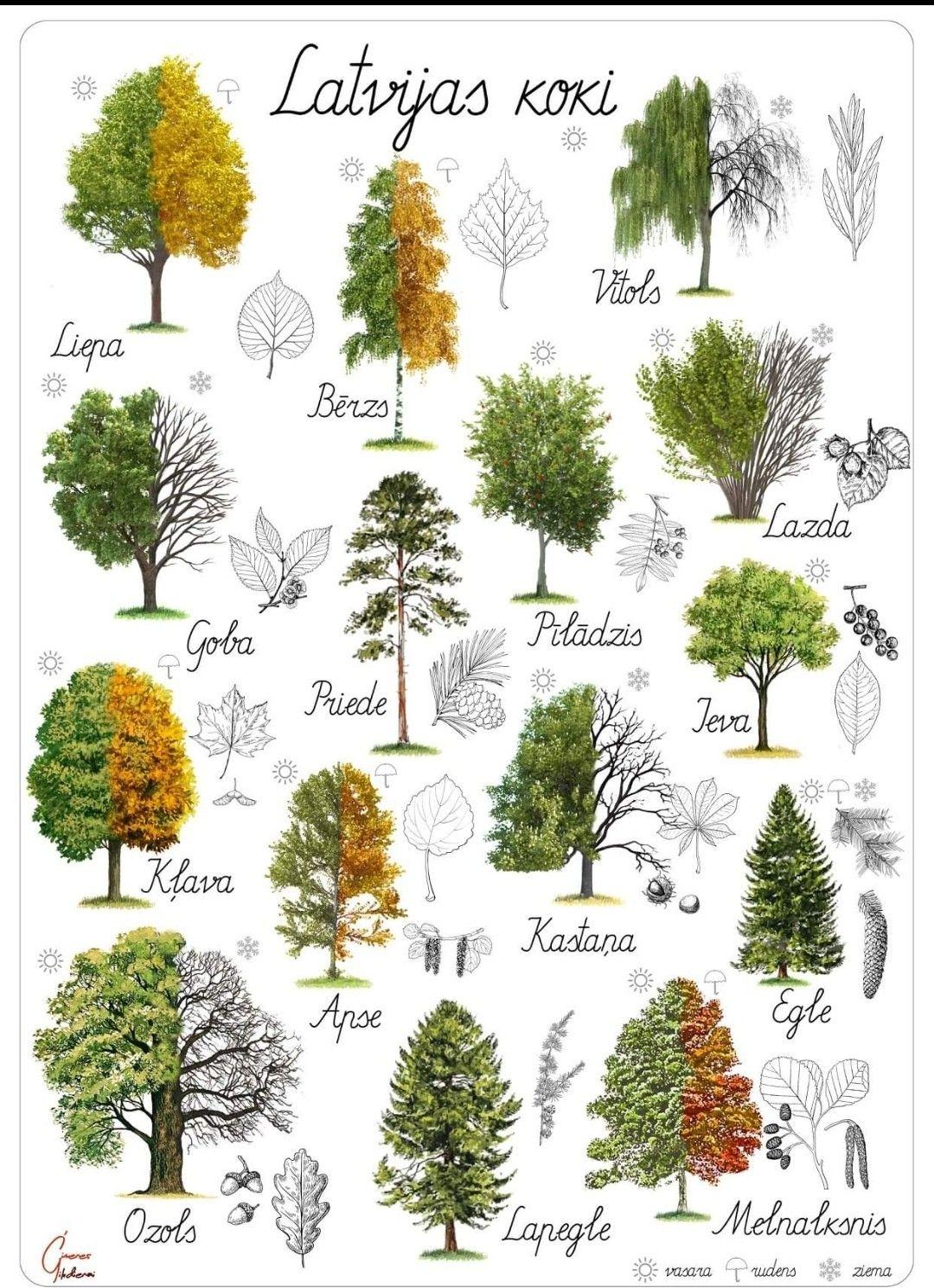 Latvian Trees