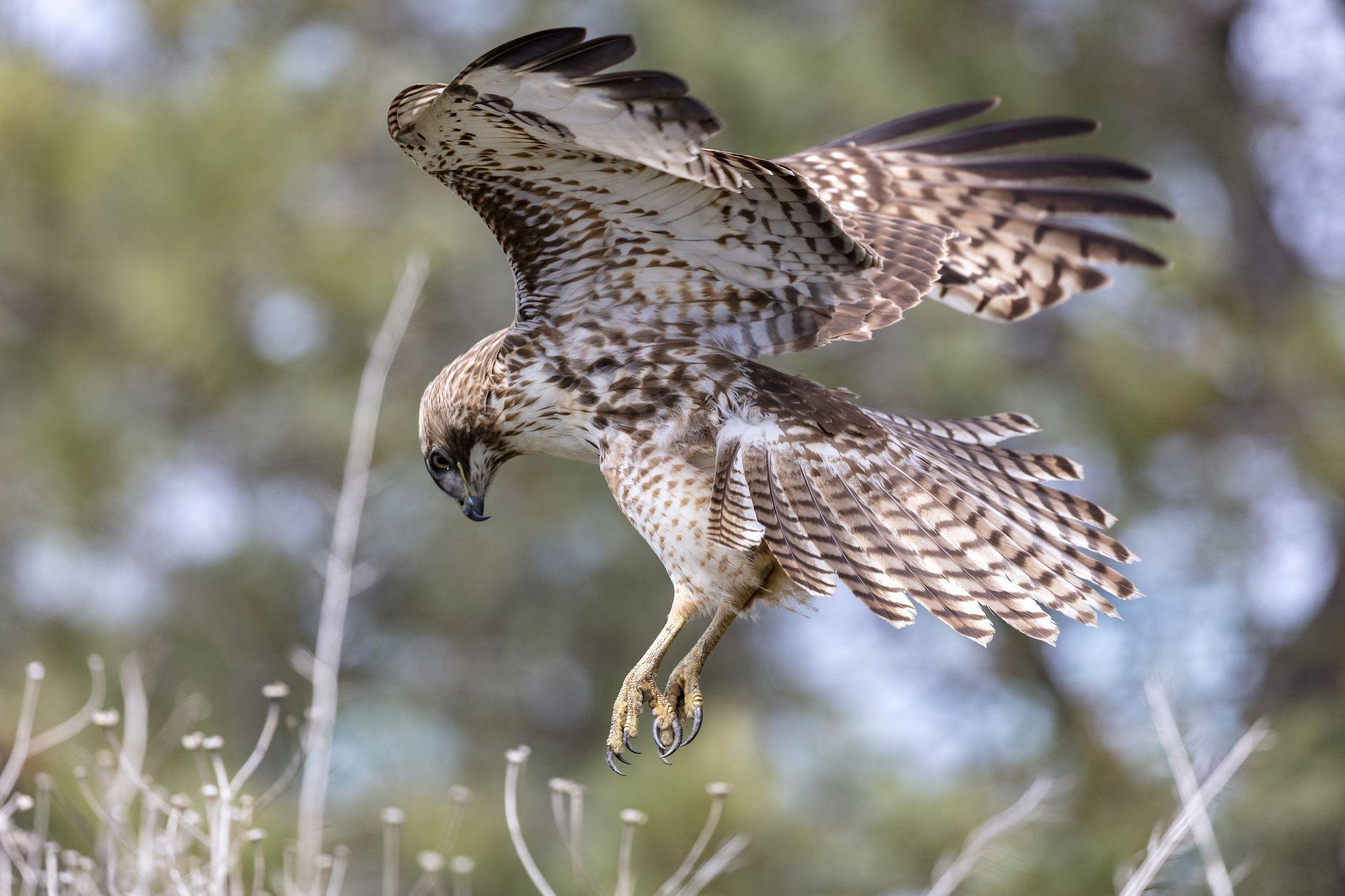 Hawks Talons Red Tailed Hawk Bird Identification Badass Art