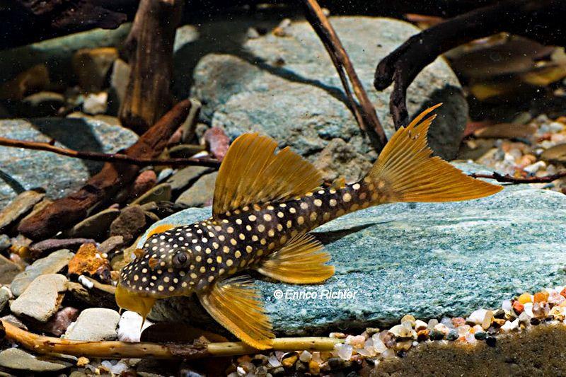 Scobinancistrus Aureatus L 14 Welsfans Pet Fish Pleco Fish Aquarium Fish