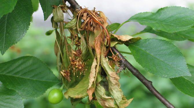 Konce výhonkov napadnuté moniliózov odrežte až po zdravé drevo.