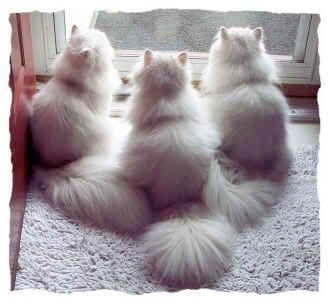 Doll Faced Chinchilla Persian Google Search Cute Cats Cats Pretty Cats