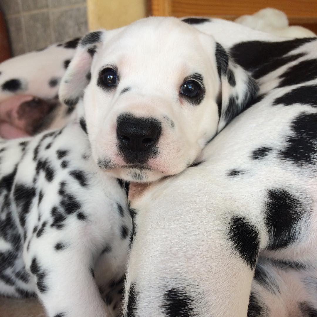 Dalmatian Puppy Cute Puppies Dalmatian Puppy Cute Dogs