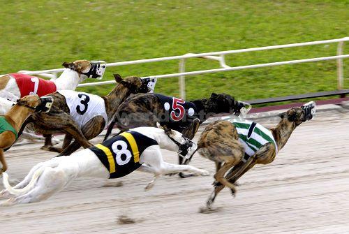 Greyhound Racing Greyhounds Racing Grey Hound Dog Sporting Dogs