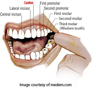 Names of human teeth medical infofacts pinterest human teeth there are eight names for teeth both sides and up down with same names 32 teeth ccuart Gallery
