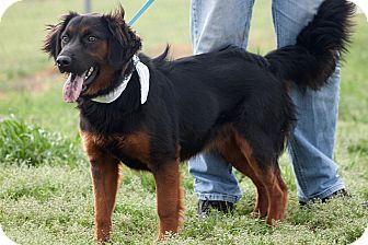 Zack Adopted Dog Scotland Neck, NC Australian