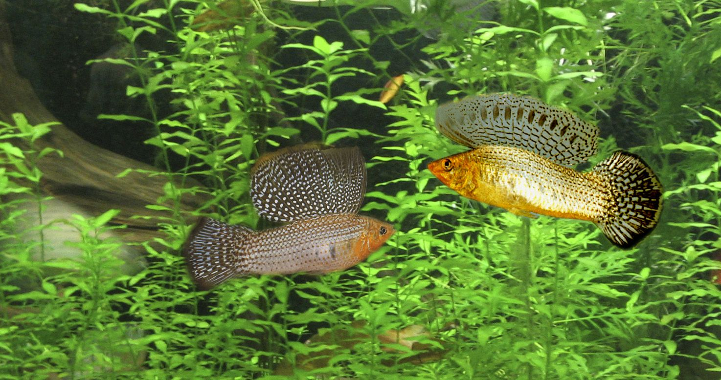 Freshwater aquarium fish mating - Fish