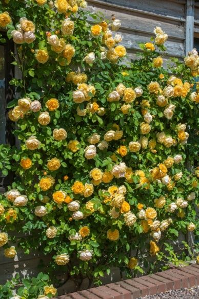 Graham Thomas Climbing - David Austin English Rose