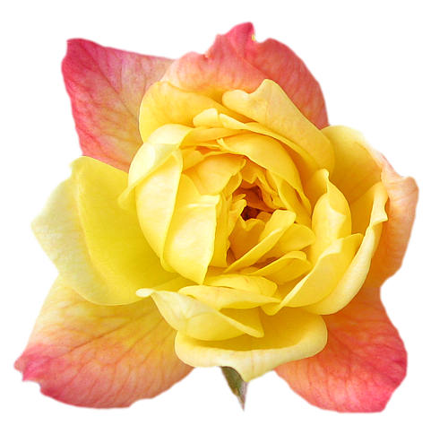 yellow rose transparent isolated Flower wallpaper, Rose