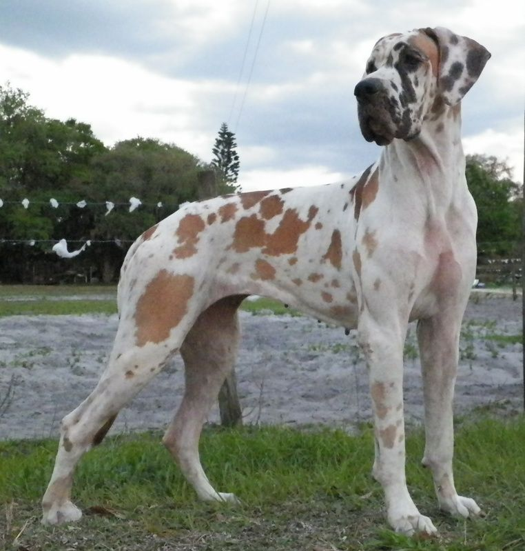 Neatly Colored Dane Looks Exactly Like Mine Great Dane Patouch