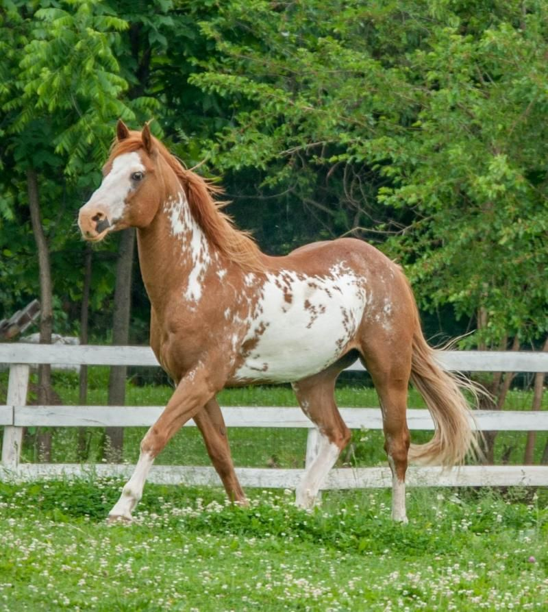 Adopt Hidalgo on Horses, Horses for sale, Horse classifieds