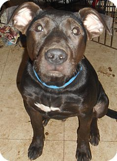Richmond Va Labrador Retriever Weimaraner Mix Meet Tyson A Dog For Adoption Http Www Ad American Pitbull Terrier Pitbull Terrier Dog Adoption
