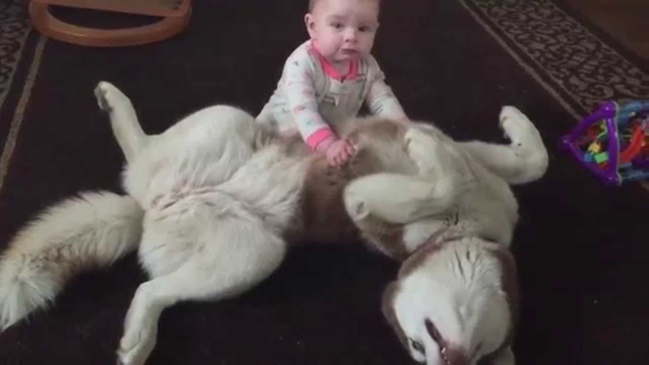 Giant husky and baby are madly in love video animal videos