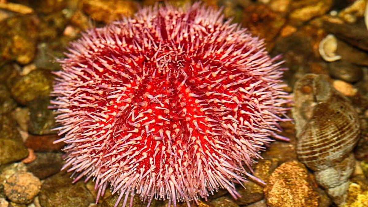 Pink Sea Urchins Have Self Sharpening Teeth Urchin Sea Ocean Life