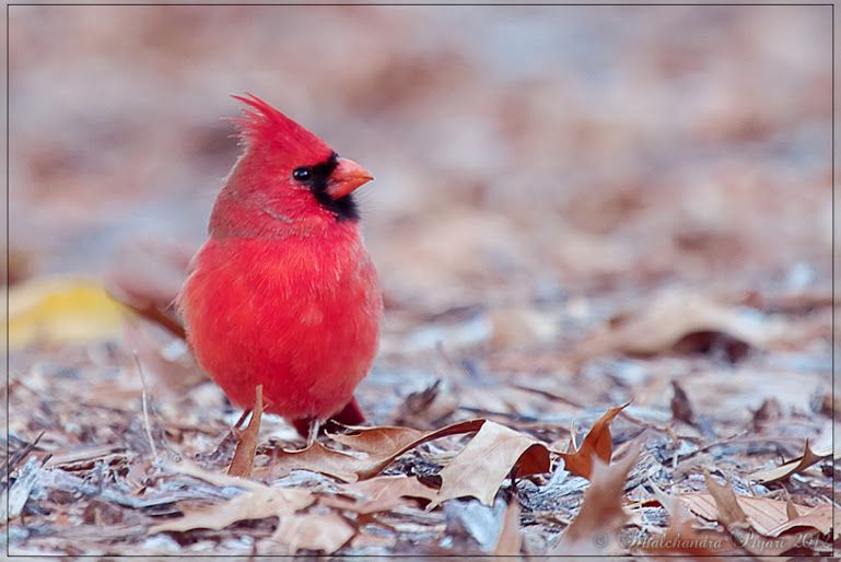 "Bhalchandra Pujari - Google+ - Real life ""Angry bird"" - Northern Cardinal :) #birds…"