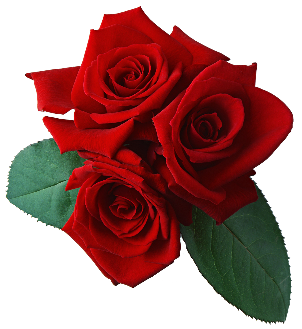 Red Rose Red Rose Png Rose Flower Png Red Roses