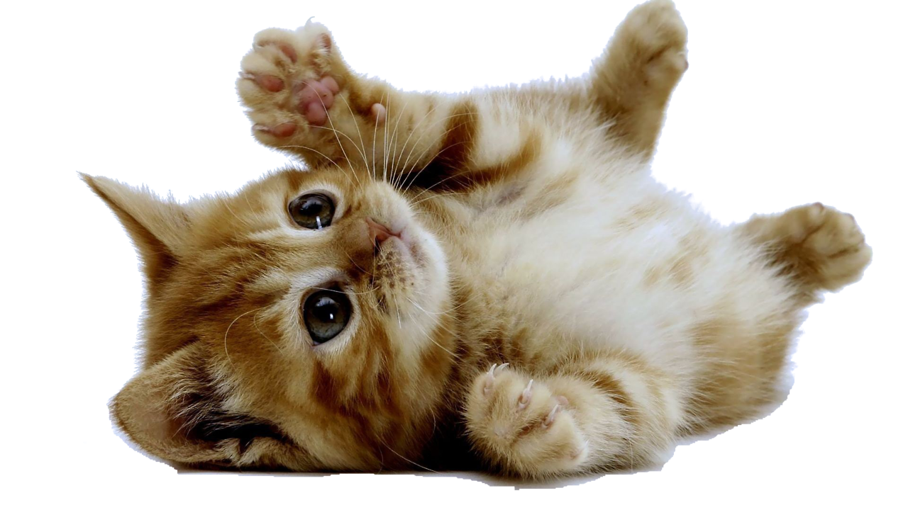 Tumblr Transparent Cats Google Search Kittens Cutest Kittens And Puppies Cute Animals