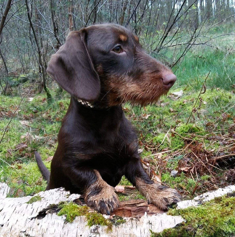 Pin Von Andrea Kesseboom Auf Animals And Pets Dackel Hunde Und