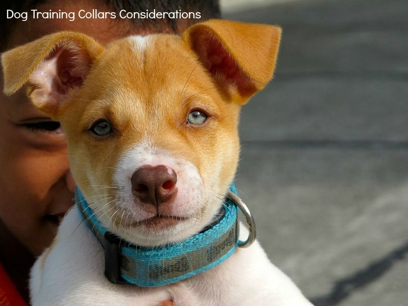 Dog Training Collars Things to Think About When Choosing
