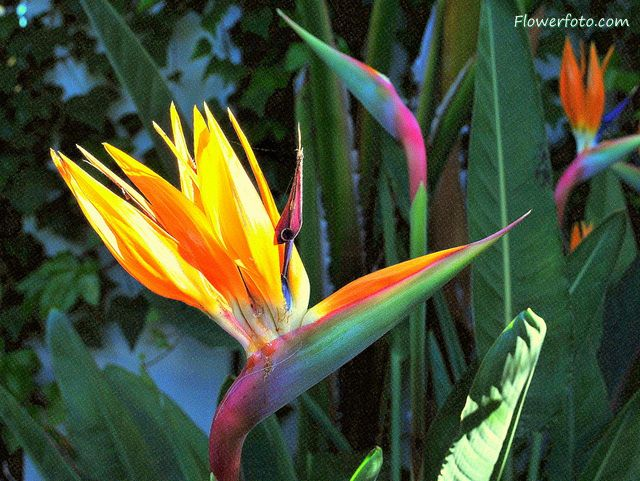 Bird Of Paradise Flower Flowersflower Net