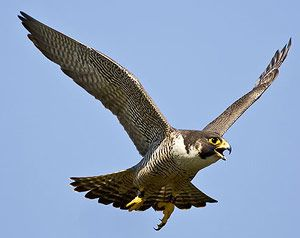 Peregrine falcon flying | Tattoo Ink | Peregrine falcon ...