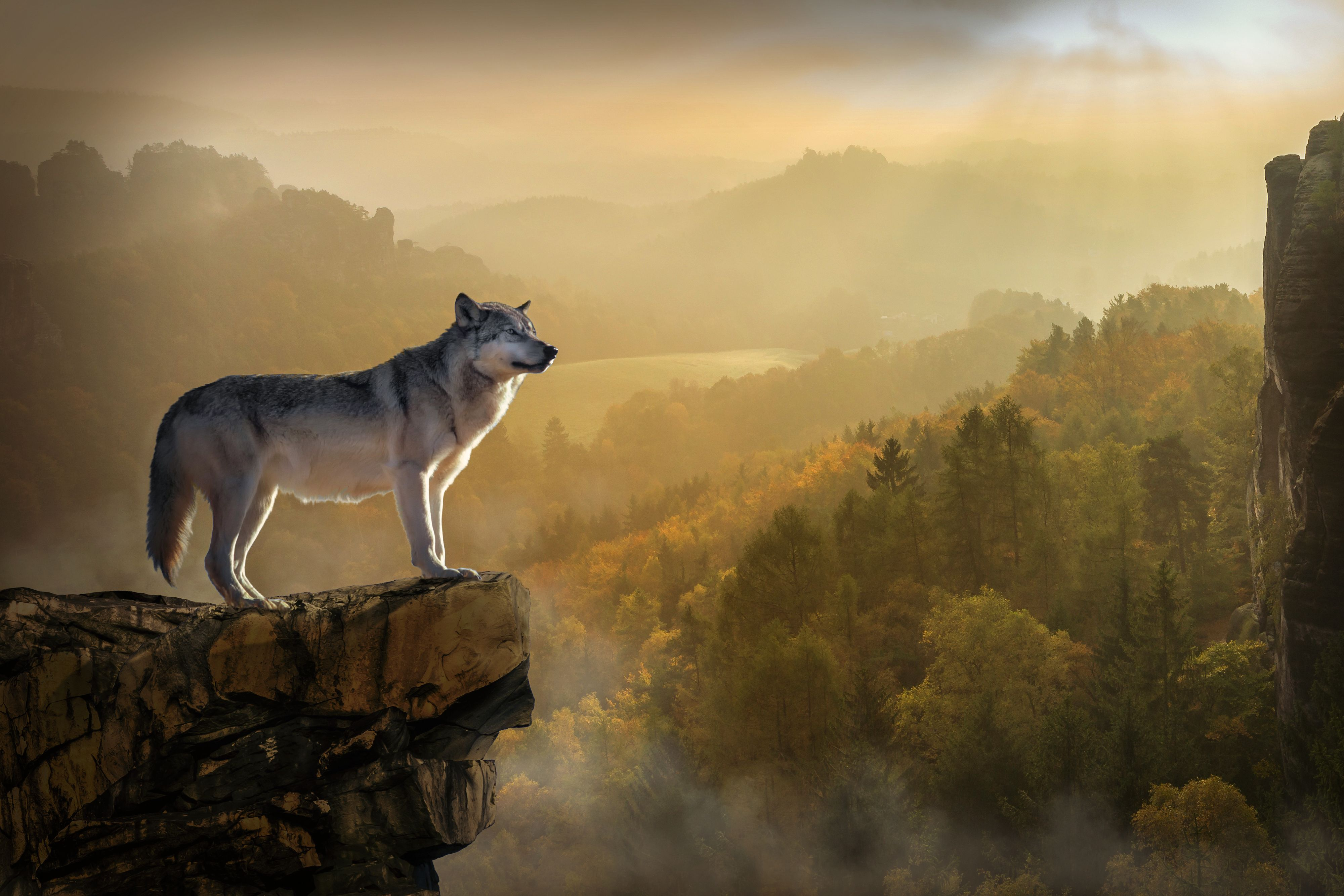 My Spirit Animal Is The Wolf Willing To Be A Lone Wolf But Also Love Being With My Pack Meditate And Find Your Spirit Anim Wolf Wallpaper Wolf Pictures Wolf