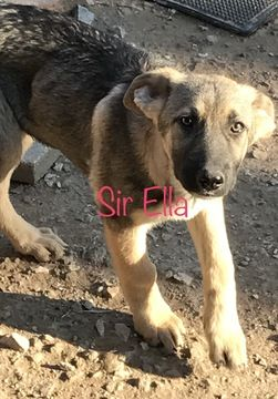 German Shepherd Dog Puppy For Sale In Farmington Mo Adn 29474 On Puppyfinder Com Gender Male Age 4 Mont German Shepherd Dogs Dogs And Puppies Shepherd Dog