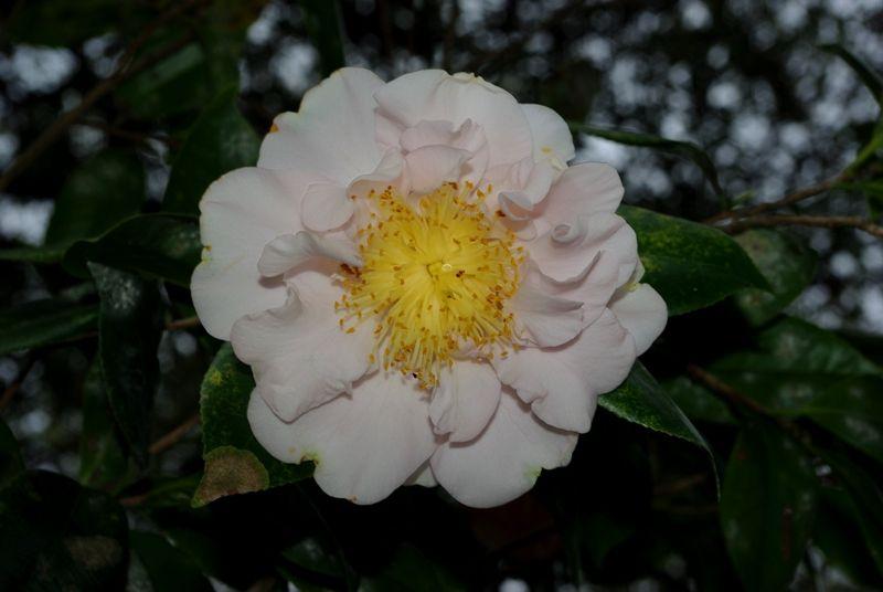Vi Stone Camellia Bobbye Dennis Camellia Japonica Plants