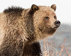 This Grizzly is very reminiscent of one I had the pleasure of getting very close too on a trip to Yellowstone 20 years ago!