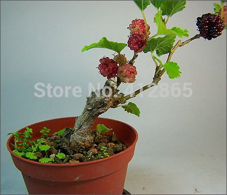 Bonsai Mulberry Tree Seeds 20 Pieces Bag Plus Gift