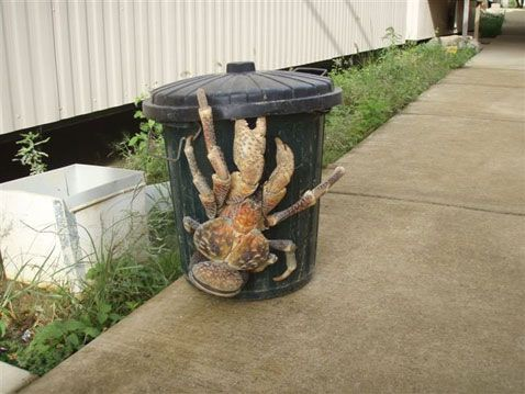"""''We're Moving. It's the Crab's House Now!""""  This is a coconut crab, which is the biggest arthropod that lives on land...."""