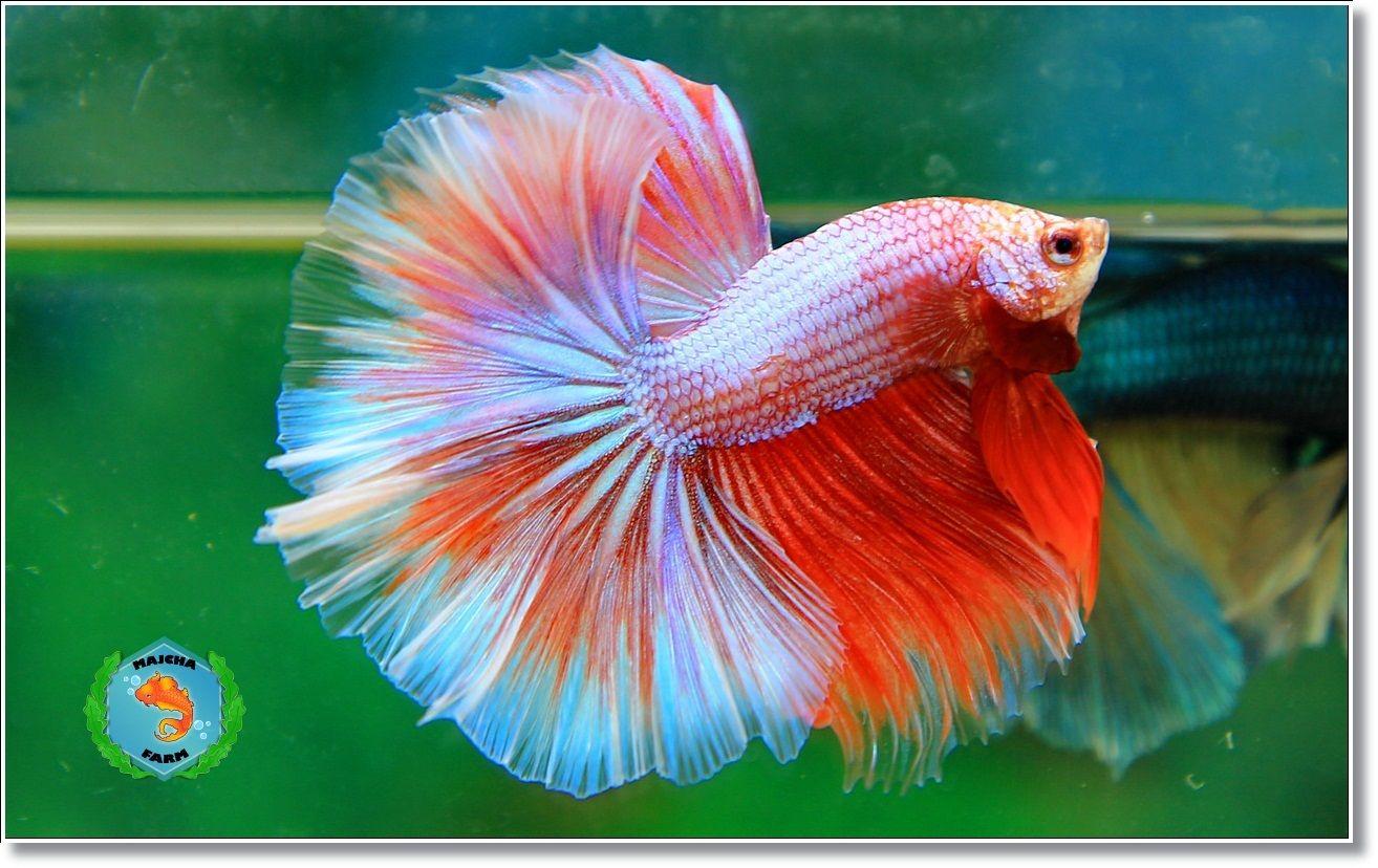 Pink dragon | Fancy bettas | Pinterest | Dragons, Betta and Fish