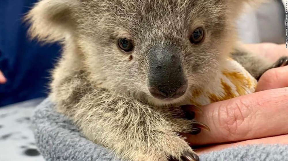 Volunteers Around The World Are Sewing Pouches For Australia S Orphaned Or Injured Kangaroos Koalas And Bats In 2020 With Images Koala Australian Animals Volunteers Around The World