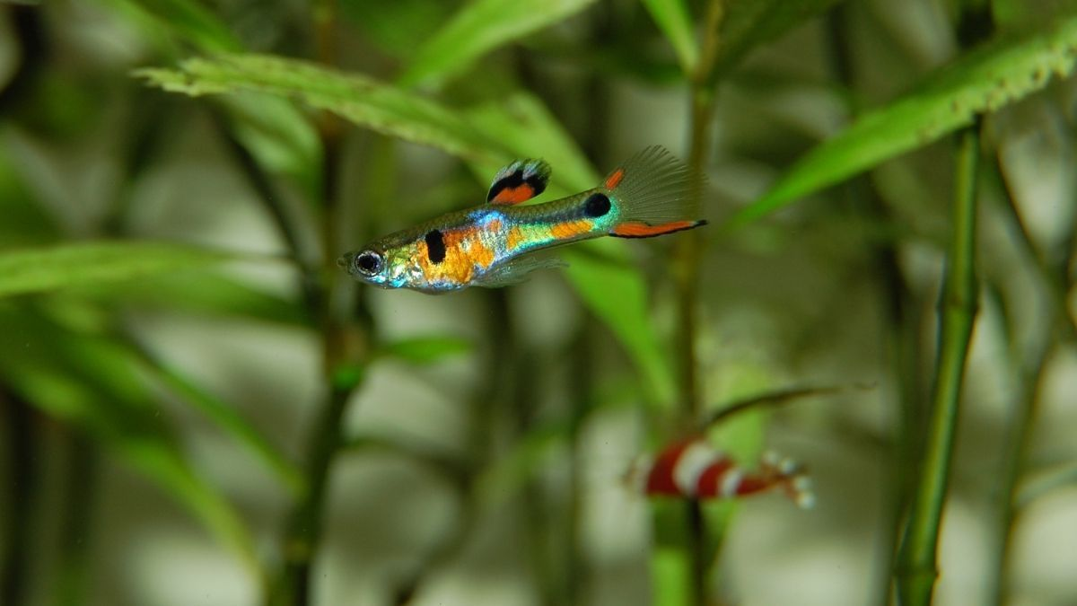 What Vegetables Can Guppies Eat Guppy Freshwater Aquarium Fish Aquarium Fish