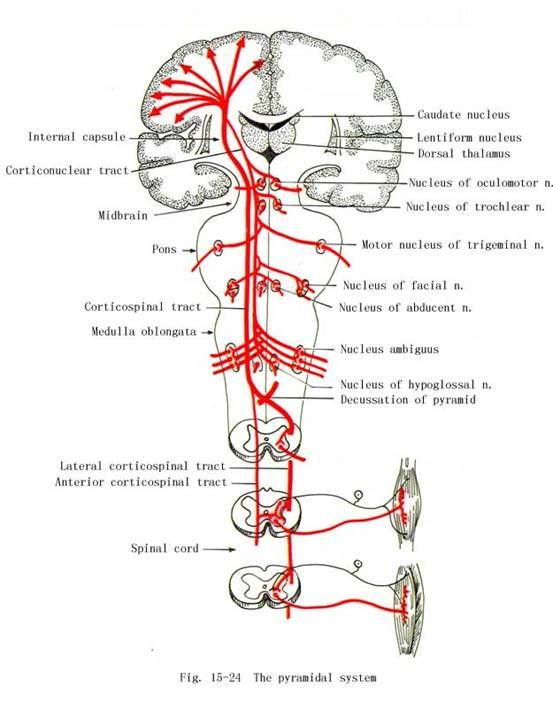 SYSTEMATIC ANATOMY | Human Anatomy and Physiology | Pinterest | Anatomy