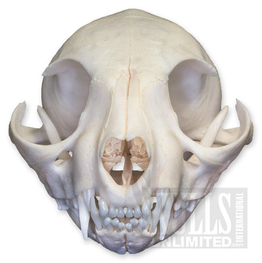 WSM-094: Domestic Cat Adolescent (Natural Bone) | Danse Macabre ...