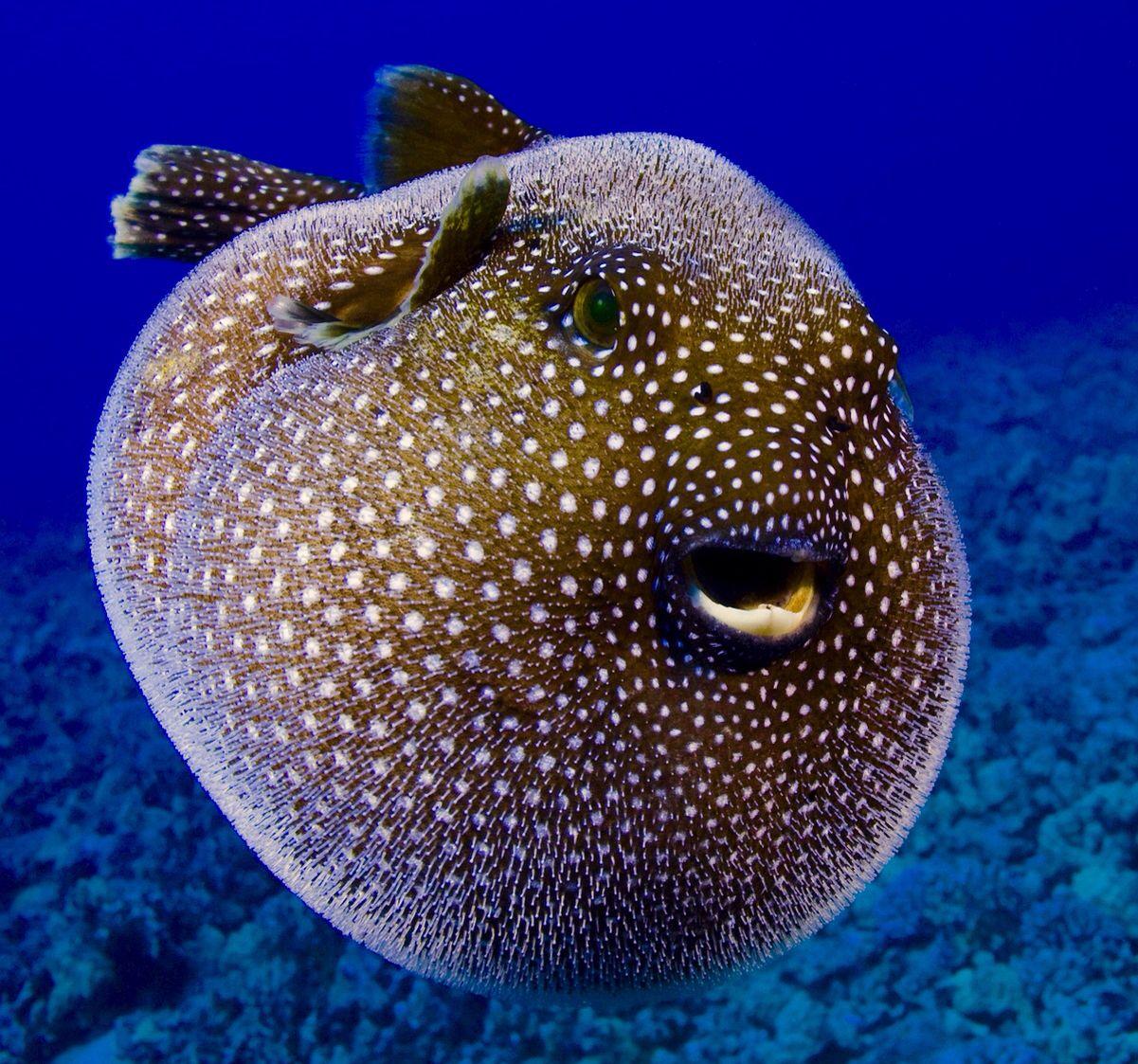 Puffer Sea Fish Fish Wallpaper Puffer Fish