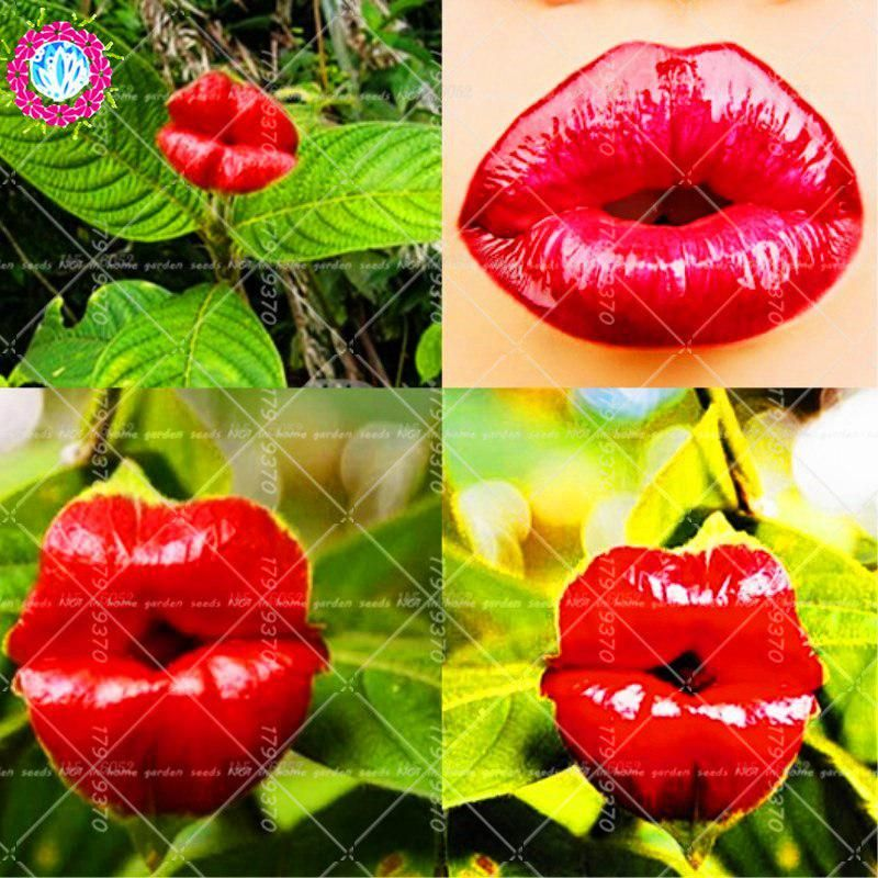 100pcs Red Lips Flower Hot Lips Plants Rare Flower Pots Psychotria