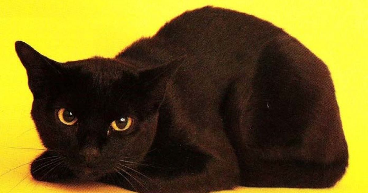 This New Breed That Mixes Burmese And American Shorthair Looks Like A Small Panther Bombay Cat Crazy Cats Beautiful Cats