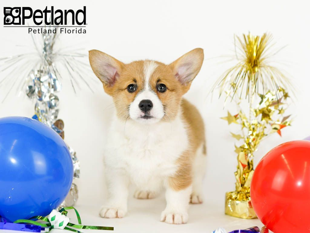 Petland Florida Has Pembroke Welsh Corgi Puppies For Sale Check Out All Our Available Puppie Corgi Puppies For Sale Puppy Friends Pembroke Welsh Corgi Puppies