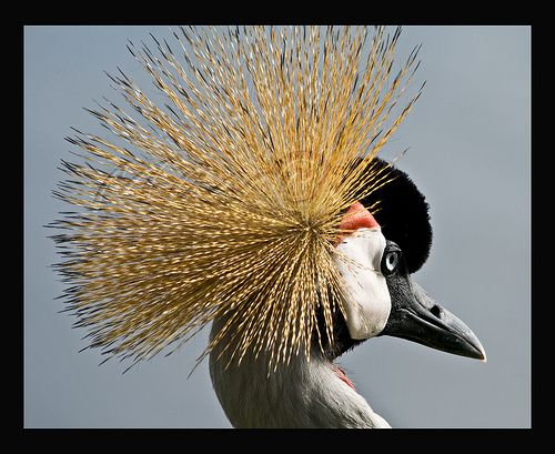 Grey Crowned Crane 1739 Lake Muhazi